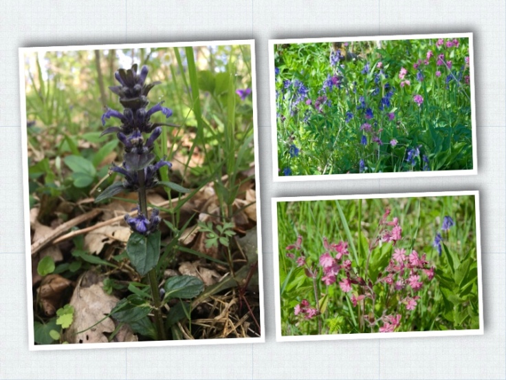 bugel, bluebell and campion