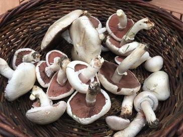 field mushroom